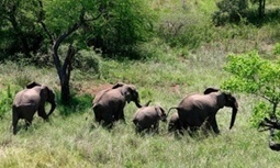 #Poachers killed half #Mozambique's #elephants in five years #extinction on the way | Messenger for mother Earth | Scoop.it