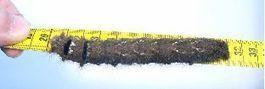 la Feuille morte du chêne (Gastropacha quercifolia), biologie et développement; | Nouvelles arthropodes | Scoop.it