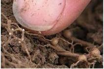 Sampling for soybean cyst nematode - agprofessional.com | Natural Pest Control | Scoop.it
