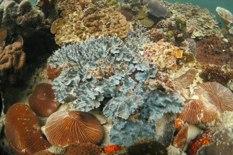 Hitchhiking to Caribbean coral | To use in my lessons | Scoop.it
