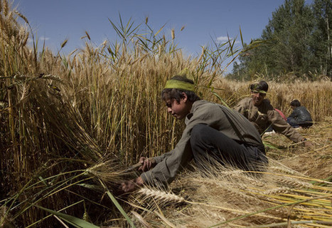 Herat farmers to receive improved seeds and fertilizers | U.S. - Afghanistan Partnership | Scoop.it