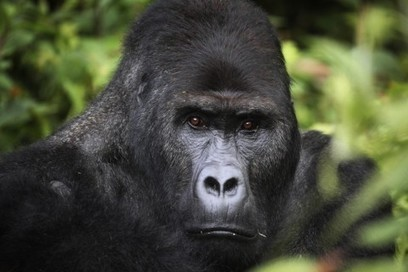 The world's largest primate is being wiped out by war | Lorraine's Environmental Change &  Management | Scoop.it