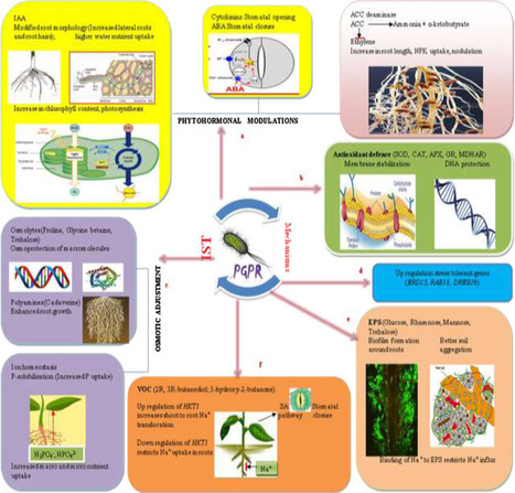 Rhizobacterial-plant interactions: Strategies ensuring plant growth promotion under drought and salinity stress | Plant-Microbe Symbiosis | Scoop.it