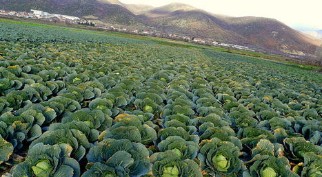 The Cabbage in Your Fridge Still Runs on a Daily Clock | Botany teaching & cetera | Scoop.it