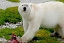 From seals to starfish: polar bears radically shift diet as habitat melts | All about water, the oceans, environmental issues | Scoop.it