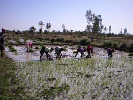 Mali : adaptation de l'agriculture aux changements climatiques | Questions de développement ... | Scoop.it