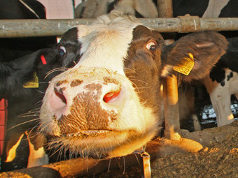 Russian cows to wear bras | No Such Thing As The News | Scoop.it