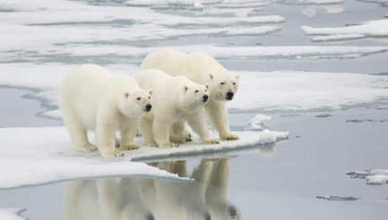 IJsberenpopulatie serieus gedaald door klimaatopwarming | 2014 | Scoop.it