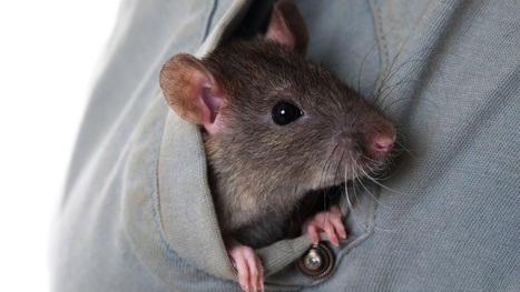 Flight Attendant Denies Smuggling Pet Rat in Her Underwear, Files Suit | Radio Show Content Ideas | Scoop.it