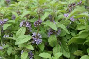 Peppermint Oil - Essential & Organic, Wholesale Manufacturers Peppermint Oil | Essential Oils, Mint Products, Menthol Crystals | Scoop.it