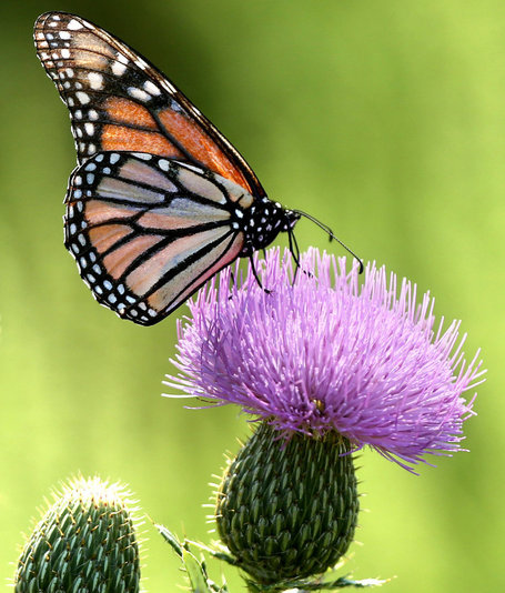 Monarch Butterfly Migration Plunges - The Perfect Storm: GMO Crops, Pesticides and Extreme Weather | YOUR FOOD, YOUR HEALTH: Latest on BiotechFood, GMOs, Pesticides, Chemicals, CAFOs, Industrial Food | Scoop.it