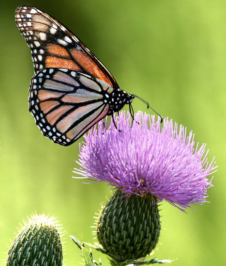 Monarch Butterfly Migration Plunges - The Perfect Storm: GMO Crops, Pesticides and Extreme Weather | YOUR FOOD, YOUR ENVIRONMENT, YOUR HEALTH: #Biotech #GMOs #Pesticides #Chemicals #FactoryFarms #CAFOs #BigFood | Scoop.it