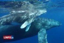 """""""La route des baleines"""" en préparation - - Informations Réunion - LINFO.re   Veille La Réunion Innovation touristique   Scoop.it"""