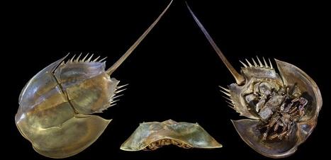 La limule : un animal vieux de 450 millions d'années menacé d'extinction   Surprenante vie sous-marine   Scoop.it