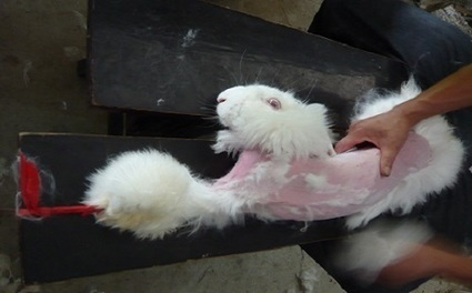Tell GUESS to Stop Selling Angora! | Nature Animals humankind | Scoop.it