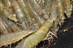 Colombia's Aquaculture Industry Boosts Exports - Latin American Herald Tribune | Seafood | Scoop.it