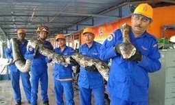 Python caught in Malaysia could be the longest ever recorded | enjoy yourself | Scoop.it