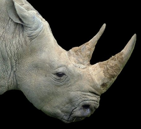 Worst ever year for rhino poaching in South Africa | What's Happening to Africa's Rhino? | Scoop.it