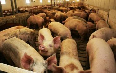 Agricultural and Rural Land Use - Feed Suspect in Swine Virus | Human Geography | Scoop.it