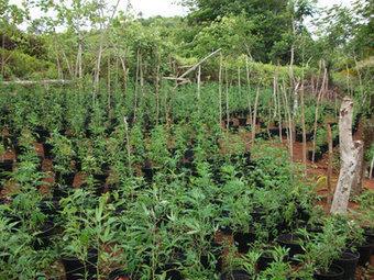 Une plantation de paka de 200 m2 découverte à la presqu'île | La Dépêche de Tahiti | TAHITI Le Mag | Scoop.it