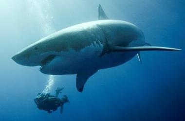 Le requin blanc : le voir en Méditerranée ? - FrequenceTerre.com | Requins en Péril | Scoop.it