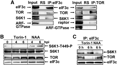 TOR and S6K1 promote translation reinitiation of uORF-containing mRNAs via phosphorylation of eIF3h | Plant genetics | Scoop.it