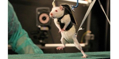 "Rats paralysés: ils remarchent après un ""réveil"" de leur moelle épinière 