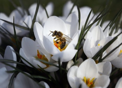 Plants Use Caffeine to Lure Bees, Scientists Find | Food, Bioprocessing, Nutrition, Food Safety, Ingredients | Scoop.it
