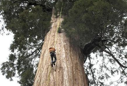 Group clones California giant trees to combat climate change | News we like | Scoop.it