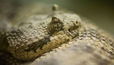 Et si la pupille des animaux permettait de distinguer la proie du prédateur? | Ecology view | Scoop.it