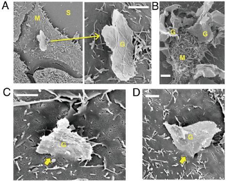 Graphene microsheets enter cells through spontaneous membrane penetration at edge asperities and corner sites   Virology and Bioinformatics from Virology.ca   Scoop.it