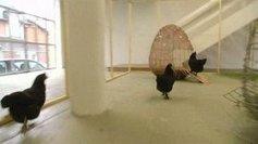 Des poules vivantes élevées au rang d'œuvres et exposées dans une galerie d'art contemporain à Yvetot | La revue de presse de Normandie-actu | Scoop.it