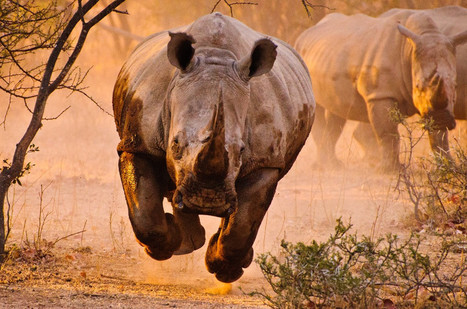 Photo of the Day: Charging Rhino in Mid Flight | What's Happening to Africa's Rhino? | Scoop.it