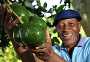 New Agriculturist: News brief - Antigua and Barbuda to tap potential of avocado | The Agrobiodiversity Grapevine | Scoop.it