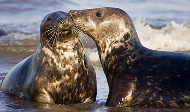 US Businesses Ban Canadian Seafood in Seal Protest | Compassion in Action | Scoop.it