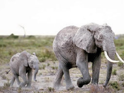 South African businessman behind elephant poisonings | Wildlife Trafficking: Who Does it? Allows it? | Scoop.it