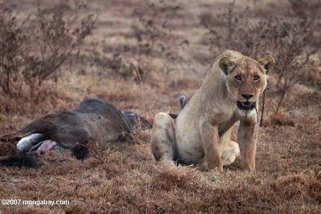 Lion population falls 68 percent in 50 years | 100 Acre Wood | Scoop.it