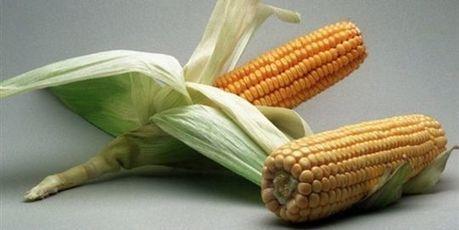 Monsanto indique tester des semences de blé OGM dans le Dakota du Nord | SandyPims | Scoop.it