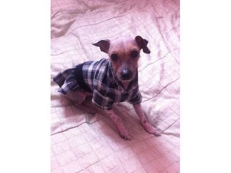 Chinese Crested hairless dog | chinese crested dogs | Scoop.it