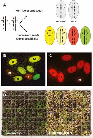Traffic Lines: New Tools for Genetic Analysis in Arabidopsis thaliana | Plant-Microbe Interaction | Scoop.it