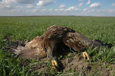 MME - Nemzetközi felháborodás a magyarországi sasmérgezések miatt   birding   Scoop.it