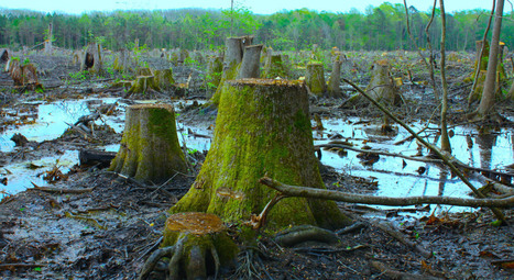 Watch it now – 'Threatened forests' the hidden truth behind EU 'green energy' | Forest | Scoop.it