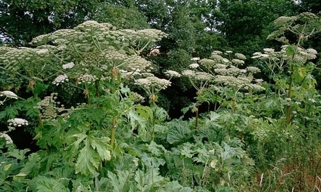 Giant hogweed; digging deeper into the history of a 'killer weed' | IELTS, ESP, EAP and CALL | Scoop.it