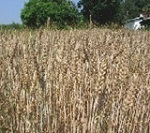 Hessian fly in wheat: Should I spray? | Grains content from Southeast Farm Press | Research from the NC Agricultural Research Service | Scoop.it