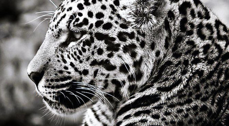 Protocolo de atención y cuidado de felinos en cautividad. | Enriquecimiento ambiental en animales en cautividad y mascotas. | Scoop.it