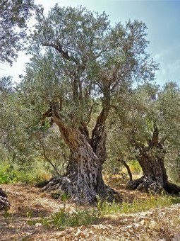 The Ancient Olive Trees of Bechealeh #Lebanon | olive | Scoop.it