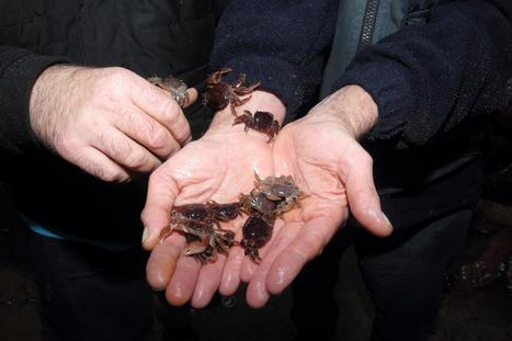Rare Columbus crabs from Bermuda found on mystery box washed up on Dorset beach | All about water, the oceans, environmental issues | Scoop.it