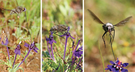 Insert Tongue Here – flower arrows guide fly tongues | Not Exactly Rocket Science | Discover Magazine | AnnBot | Scoop.it