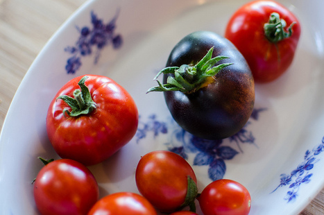 A Case For Purple GMO Tomatoes: Taste Better, Last Longer, More Antioxidants | Articles mentioning John Innes Centre | Scoop.it