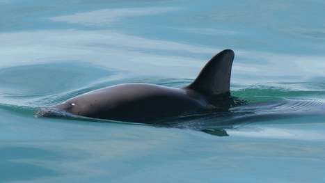A Mexican porpoise is facing extinction — almost by accident - PRI | GarryRogers NatCon News | Scoop.it